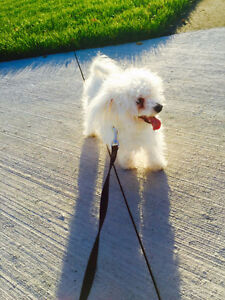 YOUNG MALE MINI MALTESE LOOKING FOR A NEW HOME