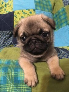 SOLD ***Adorable Purebred Pug Puppies