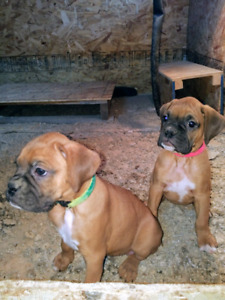 Sold, Boxer pup Boxer pups /puppies