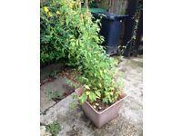 Plant job lot wisteria