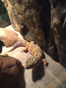 Gecko léopard mâle avec terra