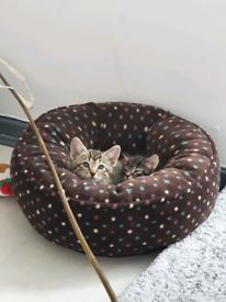 Pure bengal kittens- 1 male and 1 female left