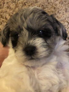 Schnoodles puppies for sale