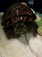 BIG red eared sliders to give away