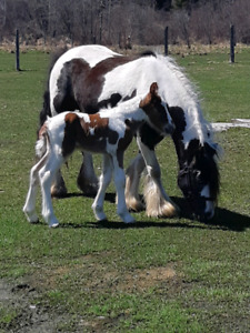 Bone, feather and personality! Gypsy Vanner colt.
