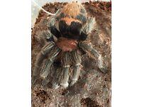 Female tarantulas
