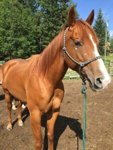 11 year old Registered Mare