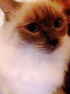 lovely blue pointed ragdoll for rehoming
