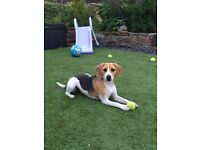 12 month old male beagle