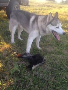 Looking for a free/cheap female Siberian husky
