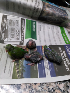 Birds for rehoming