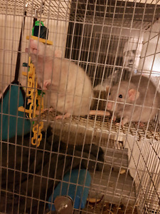 Female dumbo rats need a good home