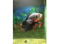 Fish red tiger oscar