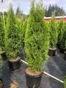 <<<Hedging Cedars available>>>
