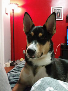 Shepherd/Collie mix