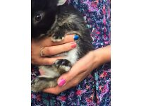 Baby rabbits Netherland dwarfs 9wk