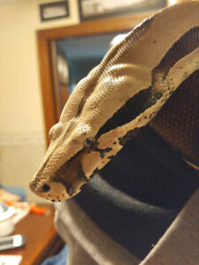 Bcc boa and ivory anery boa for sale