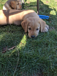 Golden retriever crossed with chocolate lab pups *only 2 left*