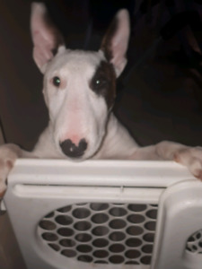 Purebred female bull terrier pup