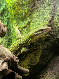 Young ackie monitor looking for new home