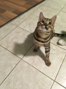 PUREBRED BENGAL FOR 870 OBO