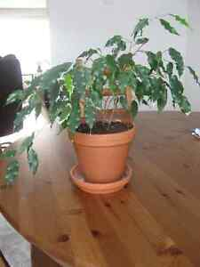House Plants, starting from $10 Kitchener / Waterloo Kitchener Area image 6
