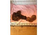 Miniature dashounds puppies available