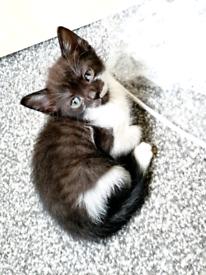 Kittens Ready In London Cats Kittens For Sale Gumtree