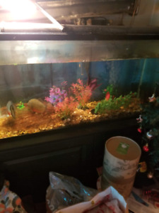 2 red bellied piranhas with setup