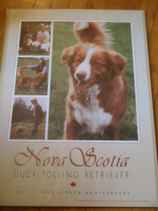 Nova Scotia Tolling Retriever Poster