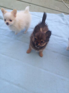 Beautiful Pomchi Puppies For Great Homes