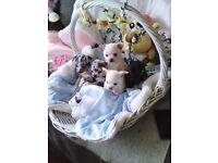 Cute, unusual coloured Jackawawa Puppies