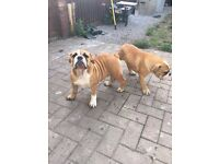 ***two bulldog bitchs for sale***