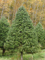 RED-ROBIN CHRISTMAS TREE FARM....OPEN FOR TAGGING & CUTTING
