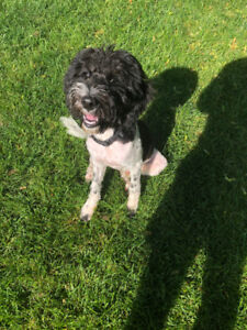 Wonderful Labradoodle Puppy looking for a good home