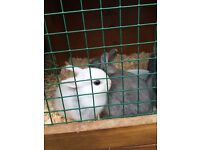 2 netherland dwarf babies ready for reserving