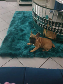 French bulldog 8 months old pup
