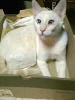 Red Point Flame Siamese male retiring from breeding