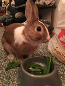 Dwarf Rabbit + Cage/Food/Toys etc ($100 Avail. start of August)