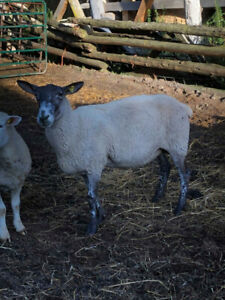 Ewes for sale
