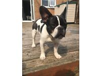 7 month old black and white French Bulldog puppy Boy
