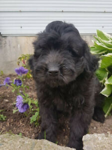 Poodle Adopt Dogs Puppies Locally In Ontario Kijiji Classifieds