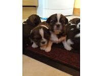 BEAUTIFUL LITTLE SHIH TZU PUPPIES