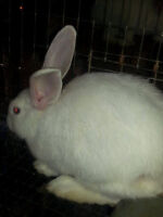big bunch of young Meat rabbits for sale