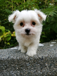 Maltese | Adopt Dogs & Puppies Locally in British Columbia