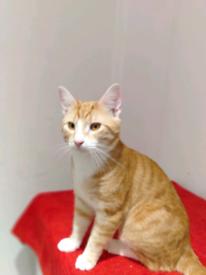 1 stunning British Shorthair cat