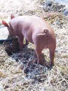 13 week old intact male Tamworth pigs