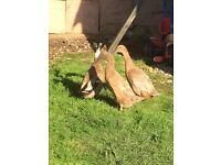 Trio runner ducks