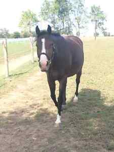 8 year old QH mare