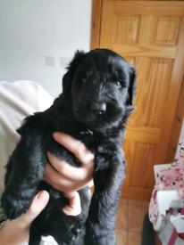 Black Russian Terrier Pups